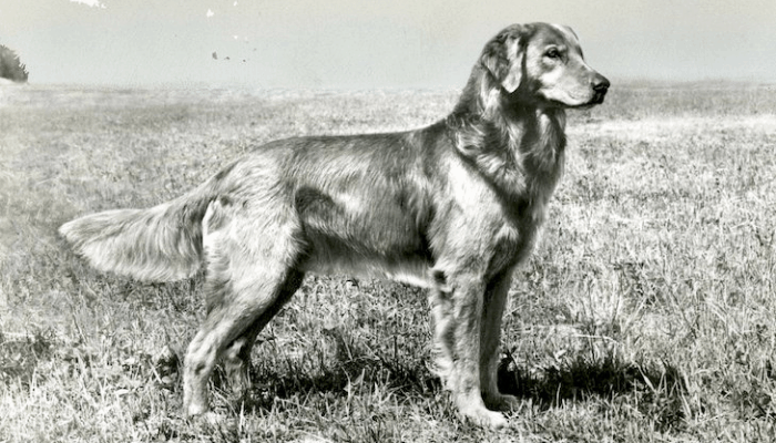 History of golden retrievers