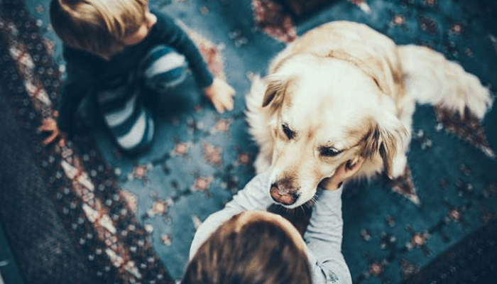 Parenting and Care golden retriever
