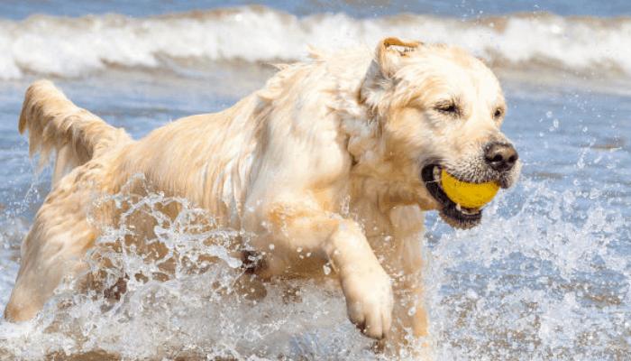Golden Retriever Personality and Temperament