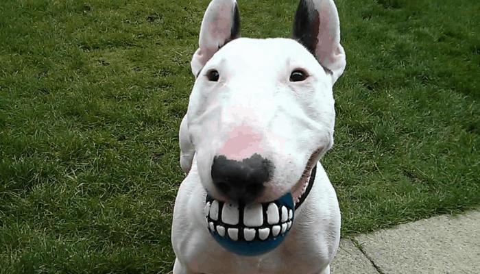Personality & Temperament Bull Terriers