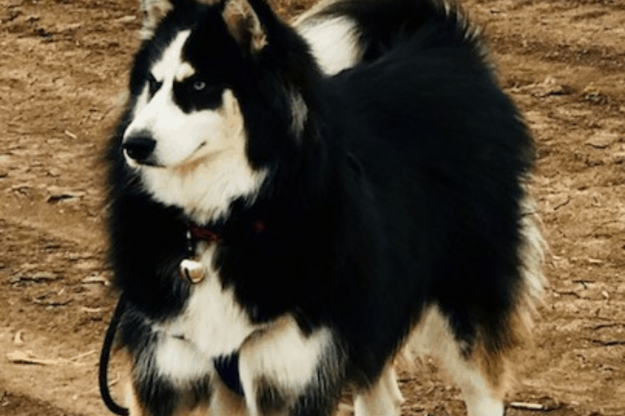 Black White and Tan husky