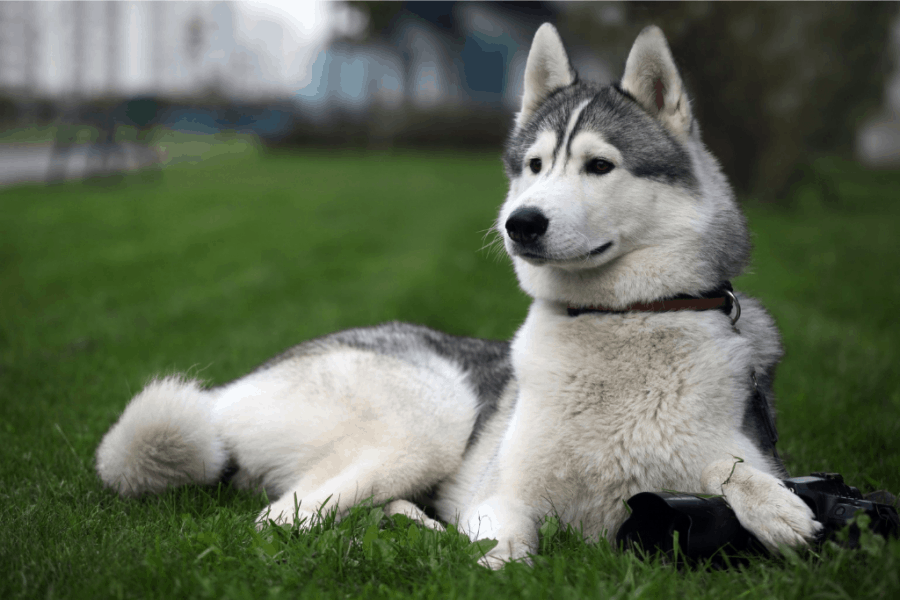 Grey and White husky