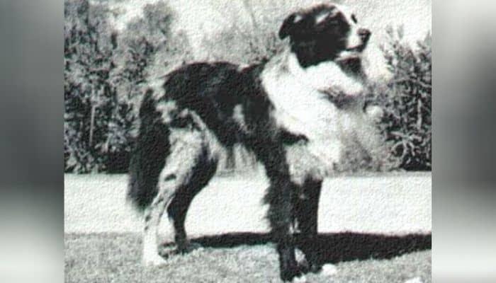 History of Australian Shepherds