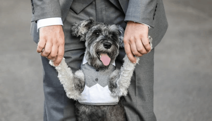 Parenting Guide and Care for Miniature Schnauzer