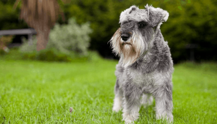 Personality and Temperament of Miniature Schnauzer