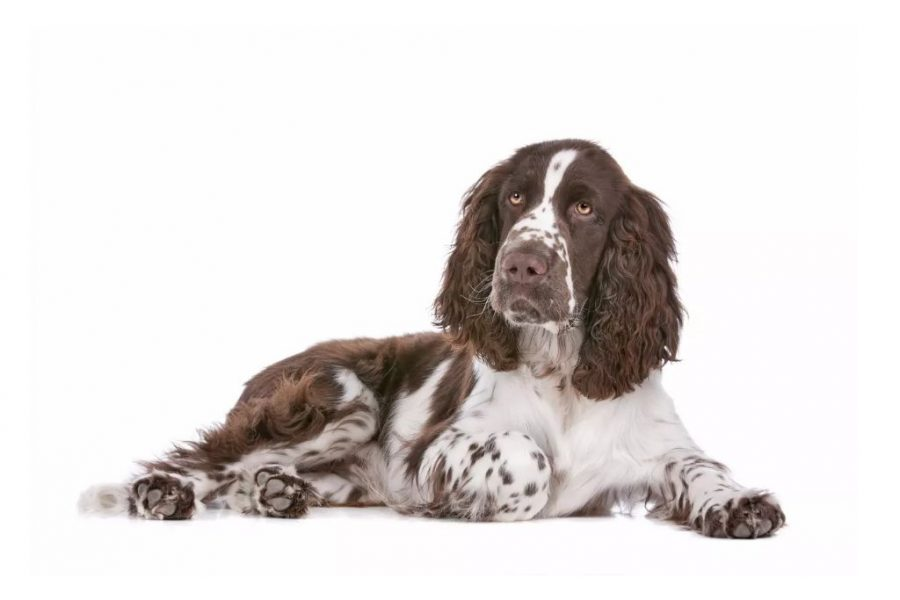English Springer Spaniel White Background