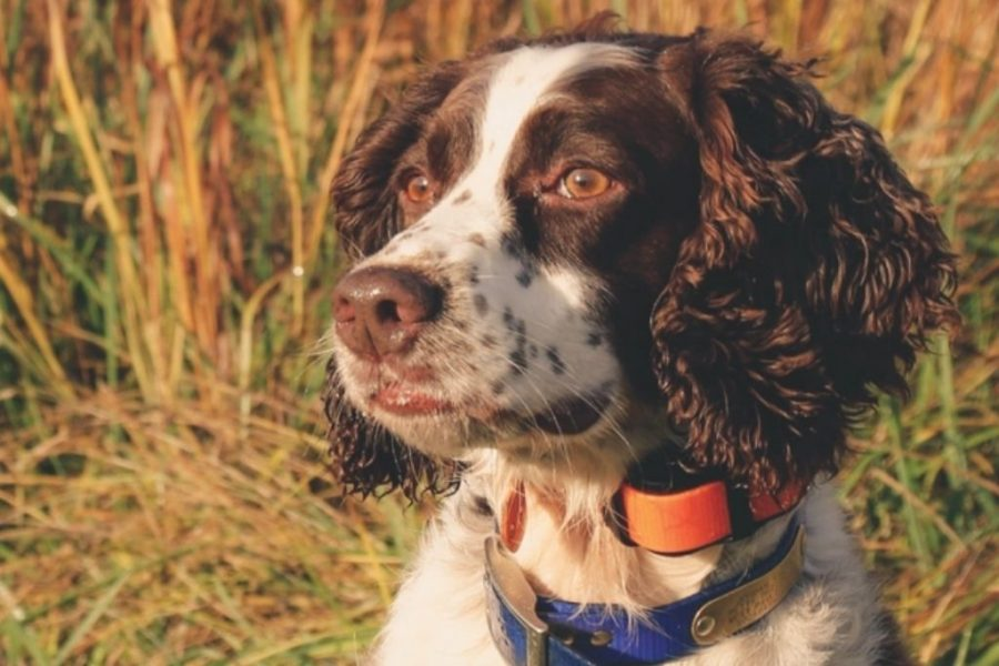 English Springer Spaniel Looking at the sun