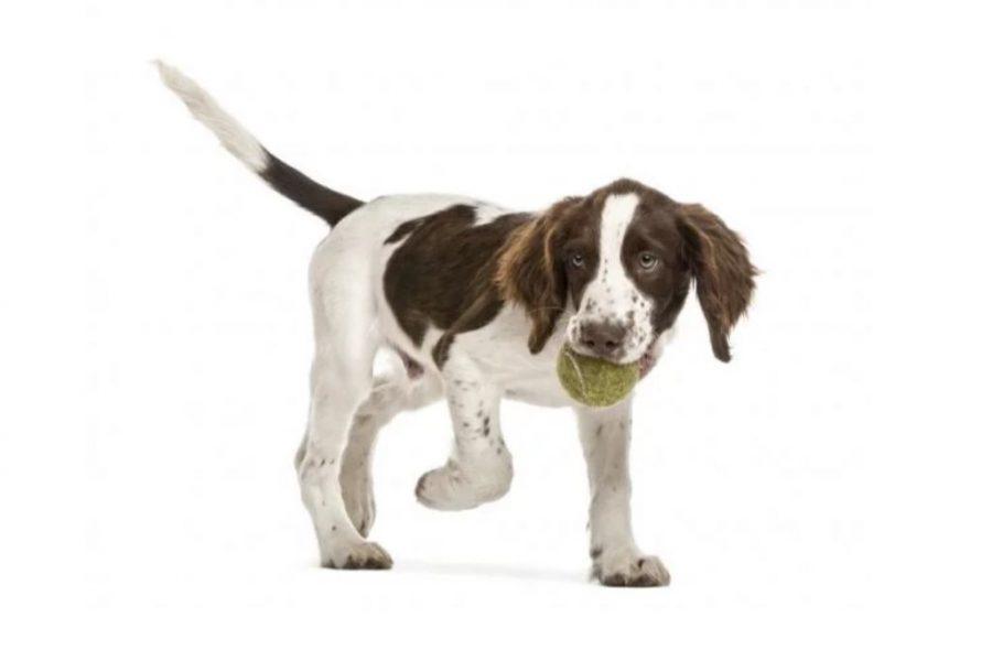 English Springer Spaniel White Background with ball