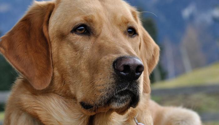 about Labrador retriever