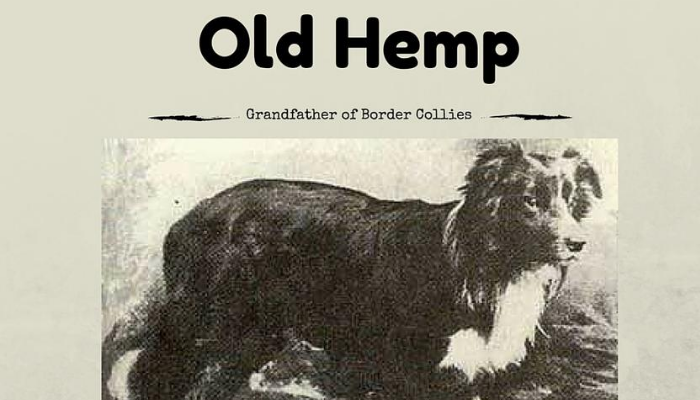history of border collie