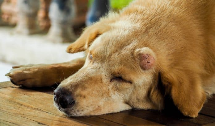 What Should I Do If My Dog Has A Lump?