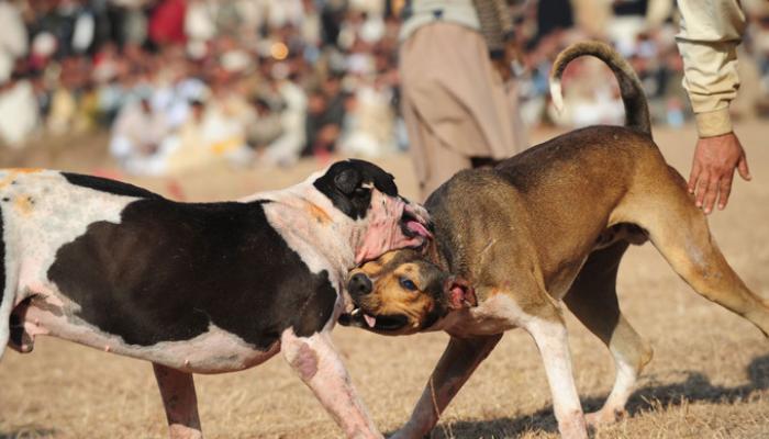 Bully Kutta Dogfight