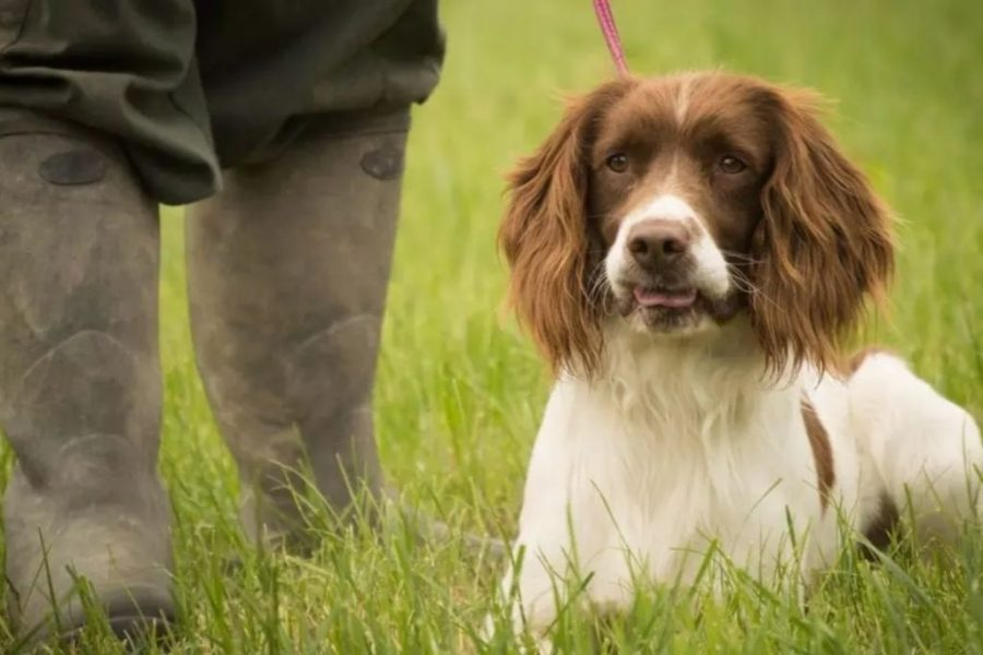 English Springer Spaniel with tongue out