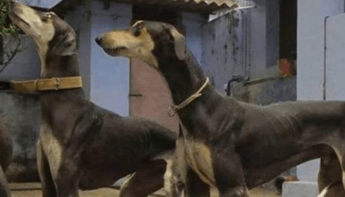 Feeding a Kanni Dog