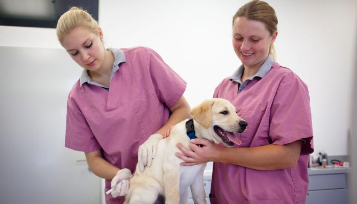 Labrador health and vaccination