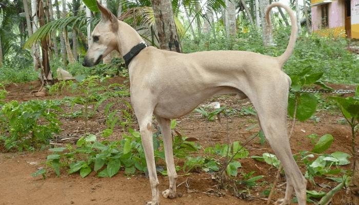 Chippiparai Dog in Garden