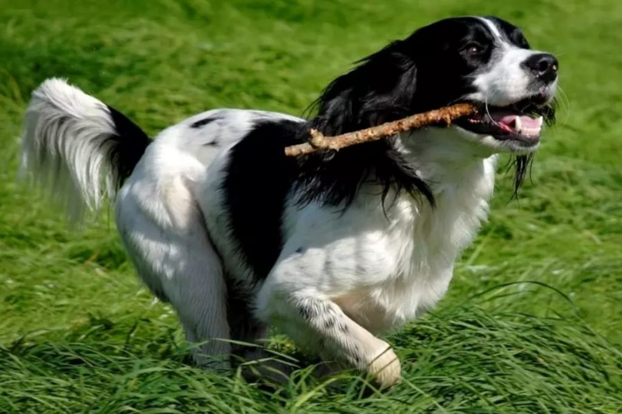 English Springer Spaniel Fetching