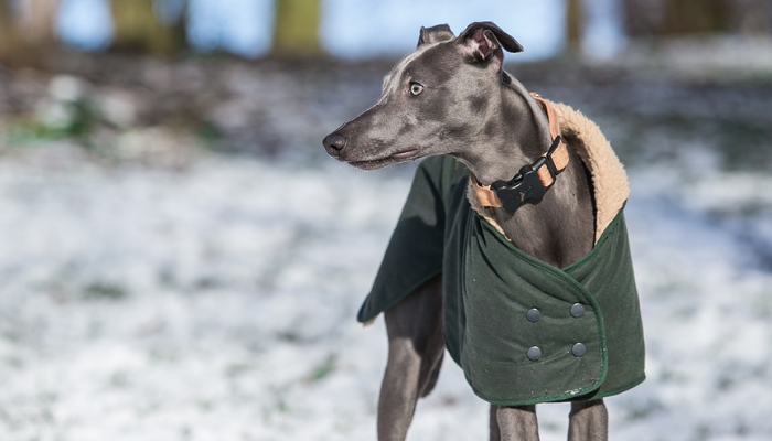 Whippet dog in snow