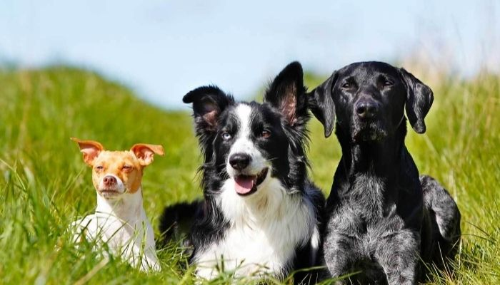 Border collie with other dogs