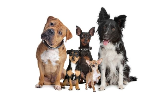 Dog Breeds for First-Time Owners