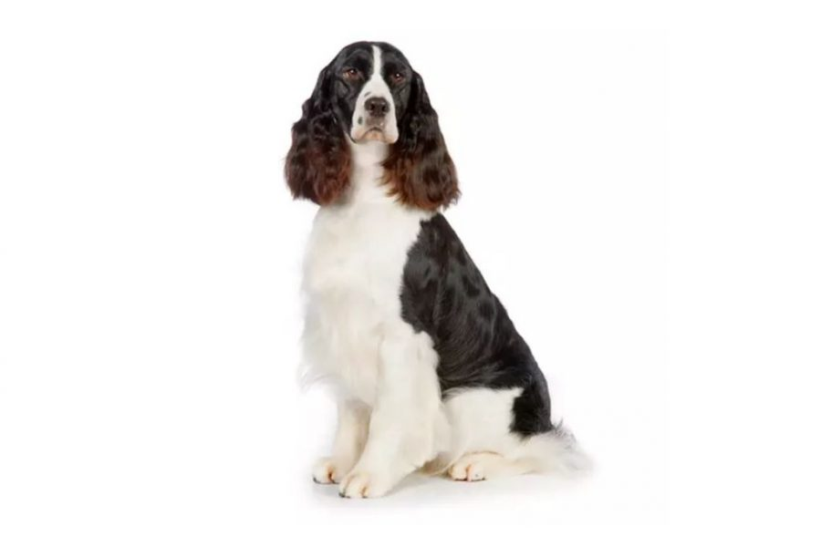 English Springer Spaniel Black And White