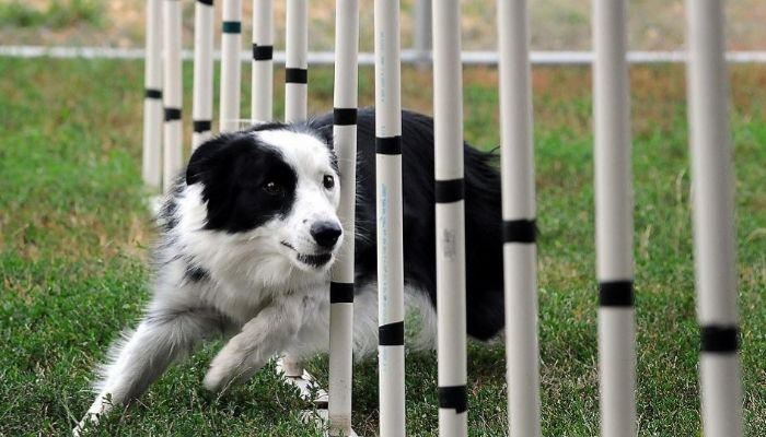 border collie dogs sports