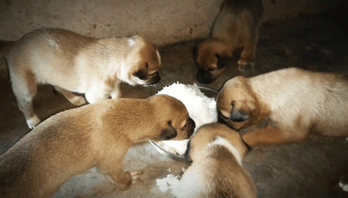 Combai puppy eating