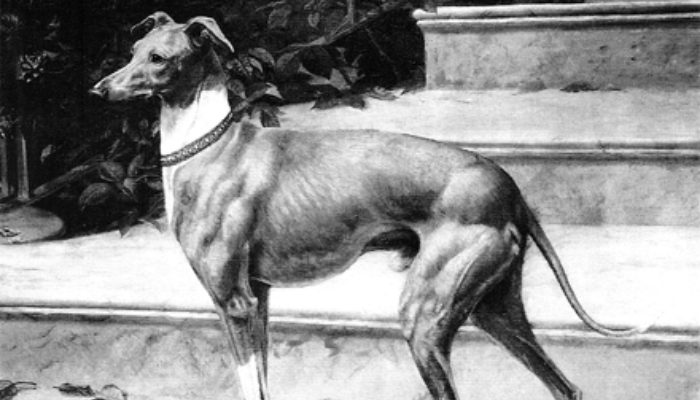 Whippet dog history black and white image