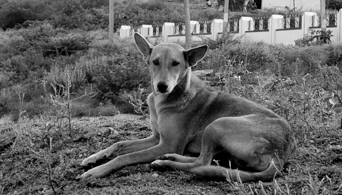 Indian Pariah Dog history