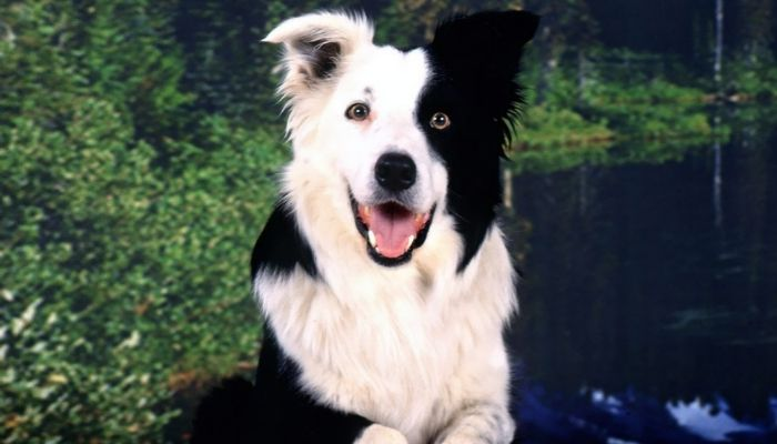 Smartest Dog Breed In The World