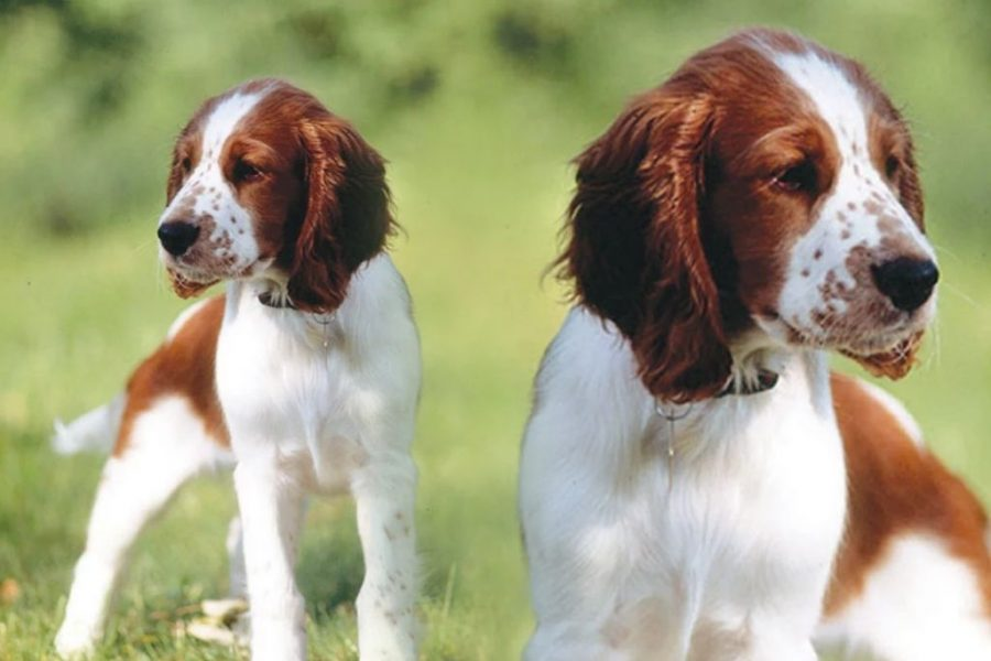 English Springer Spaniel Lemon And White