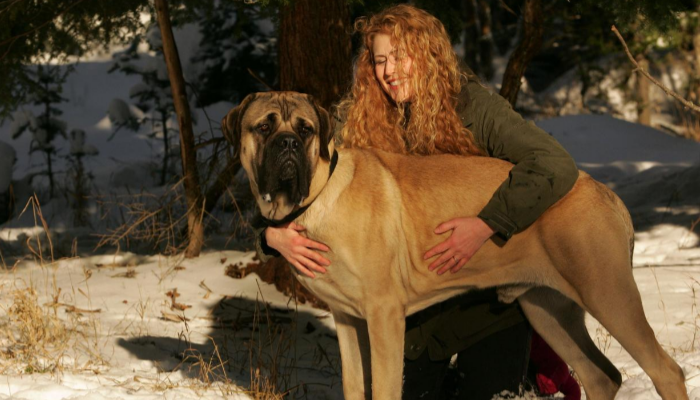 English mastiff care