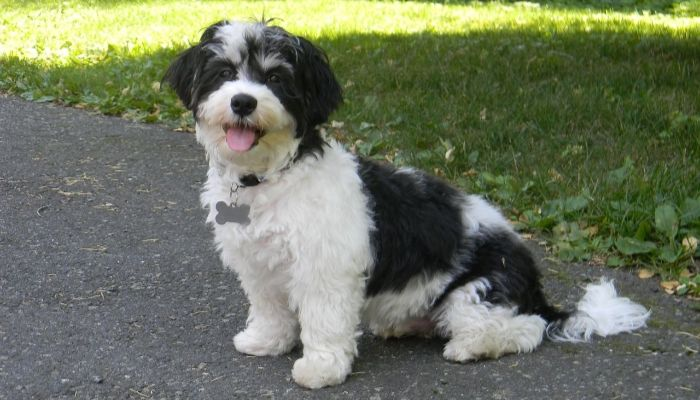 havanese personality and temperament