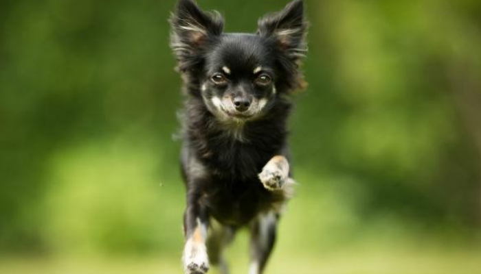 chihuahua personality