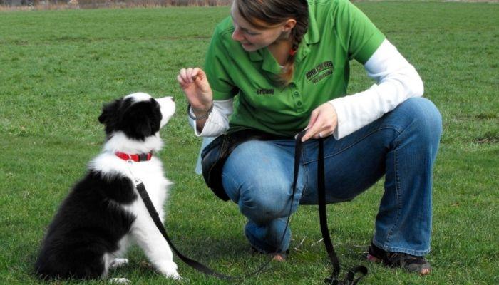 border collie training