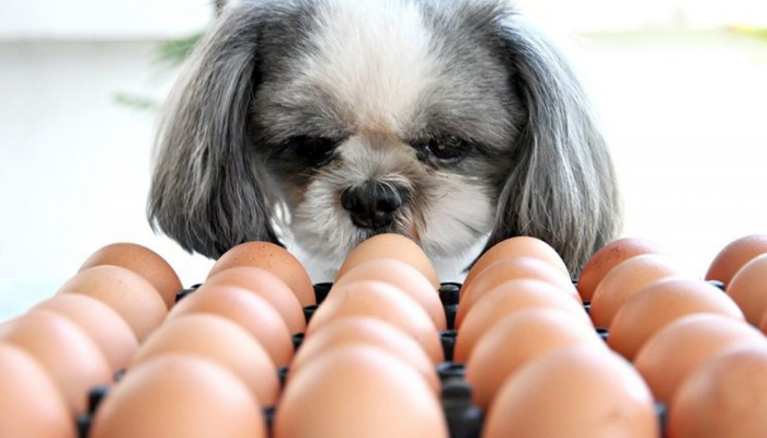 dogs and raw eggs