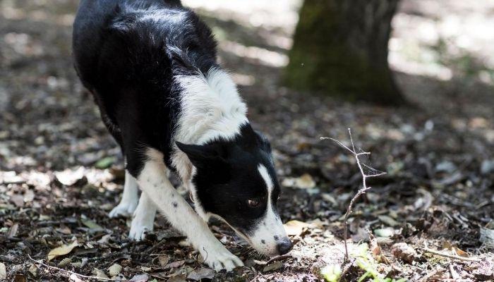 border collie sniffing skills