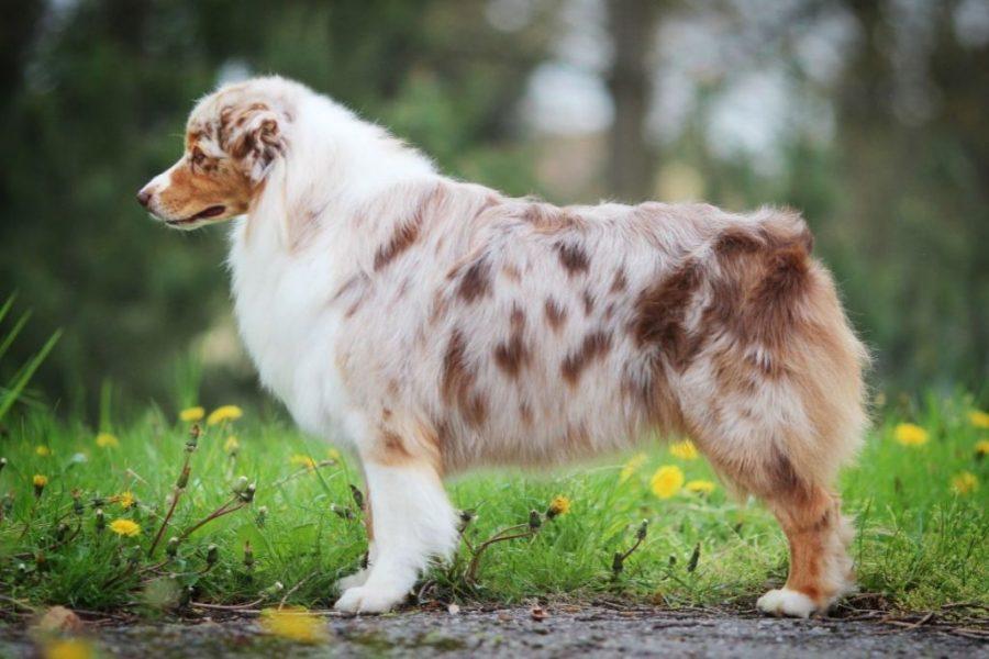 Australian shepherd colors