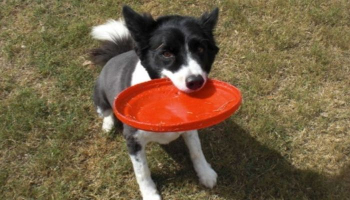 Border collie playinf