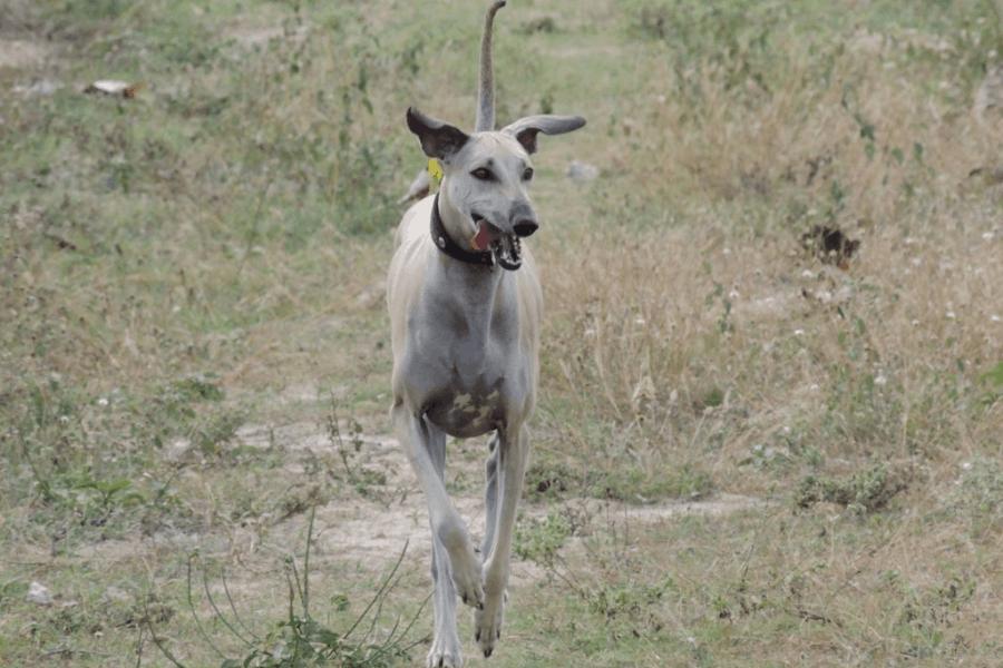 Chippiparai Dog Running