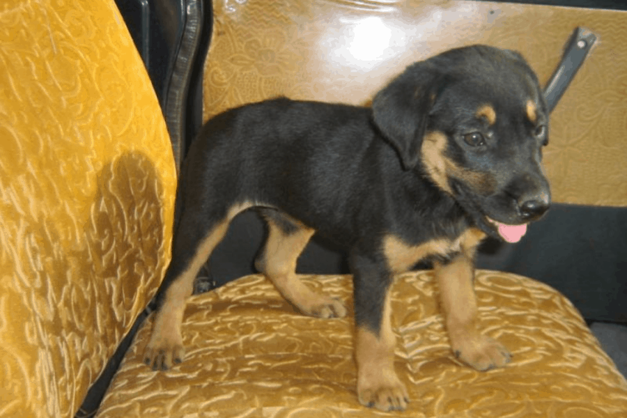 Kanni Dog Puppy