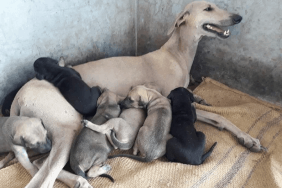 Chippiparai Dog with puppies