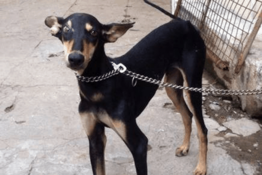 Kanni Dog Puppy Chained
