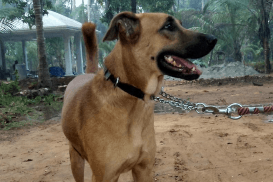 Combai dog leashed