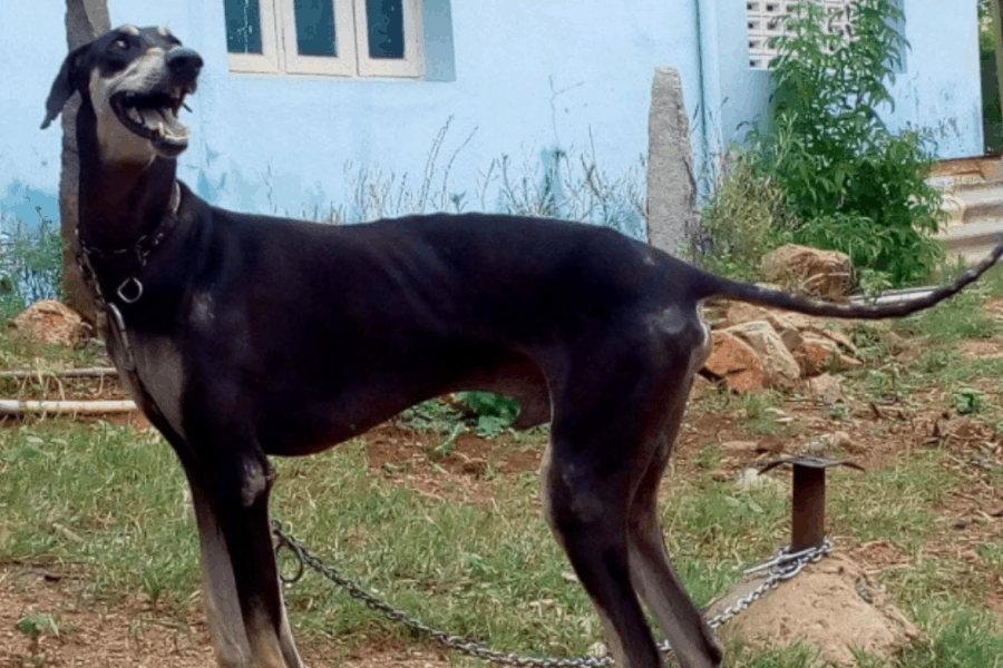 Kanni Dog Chained