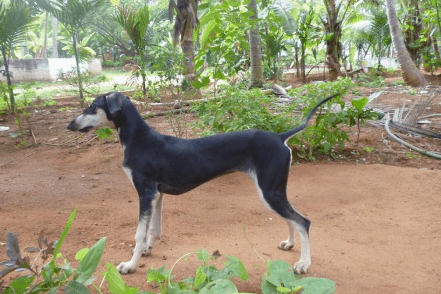 Kanni dog puppy in garden