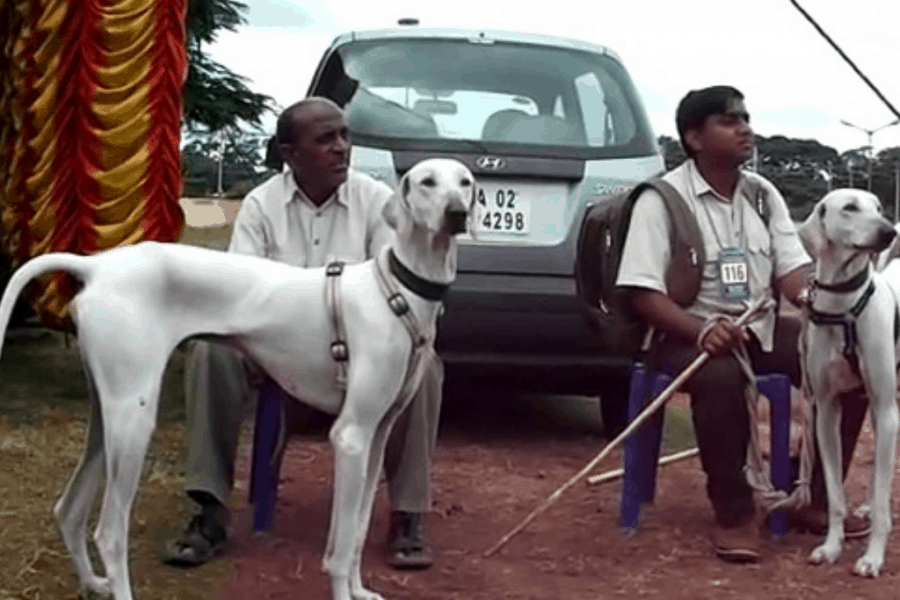Chippiparai dog in dog show