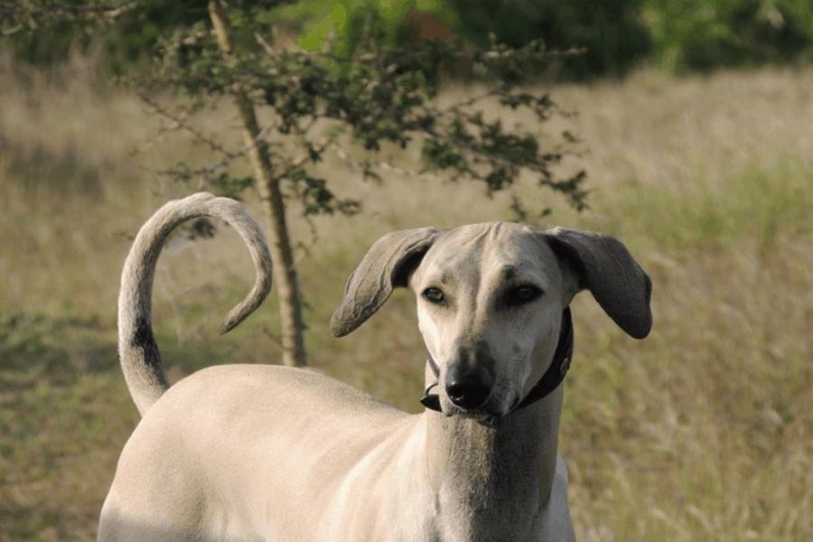 Chippiparai dog staring