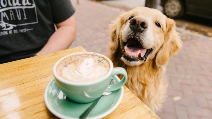 Caffeine-based Products golden retriever