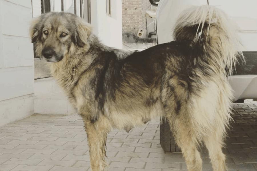 Multi-coloured Bakharwal dog